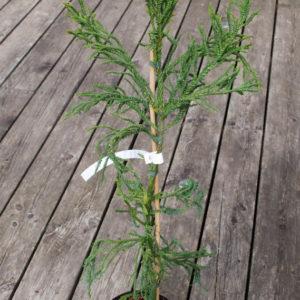 Cryptomeria japonica 'Spiralis'-0