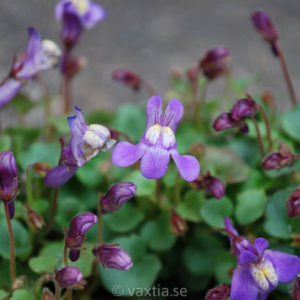 Cymbalaria pallida-0