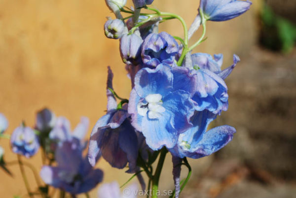 Delphinium belladonna 'Ballkleid'-0