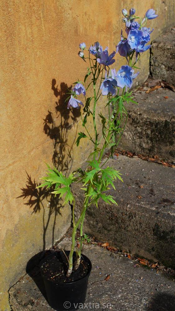 Delphinium belladonna 'Ballkleid'-1466