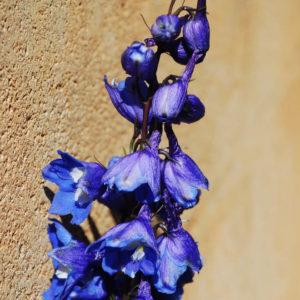 Delphinium elatum 'Blue Bird'-0