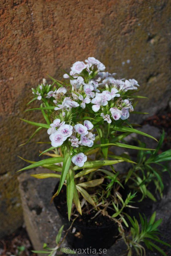 Dianthus barbatus 'Nana'-1438