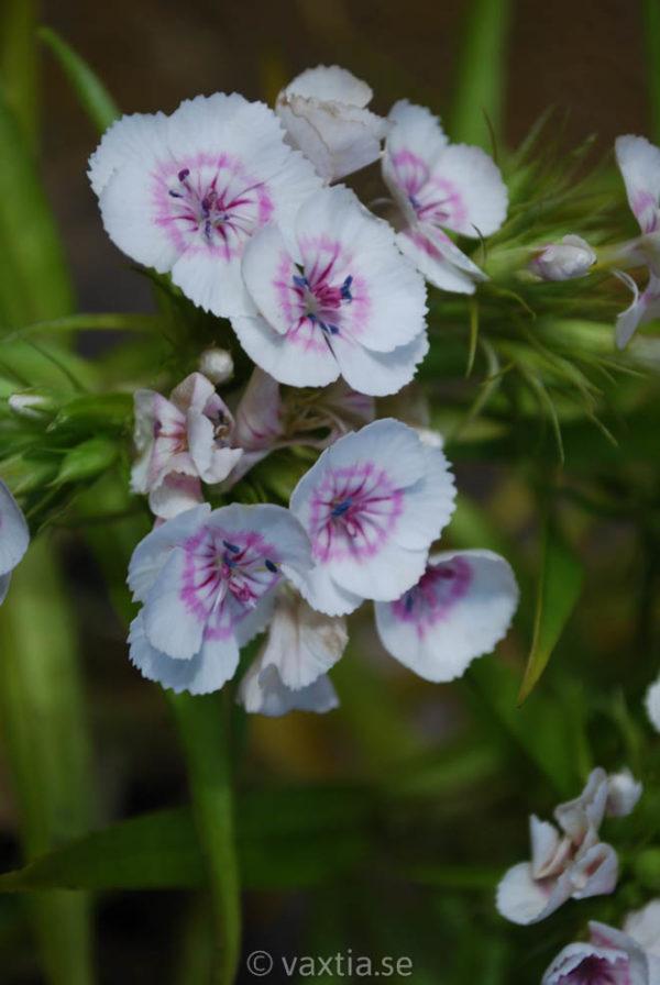 Dianthus barbatus 'Nana'-1439