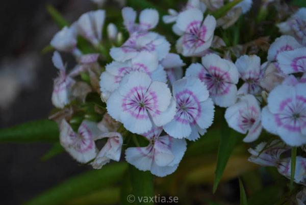 Dianthus barbatus 'Nana'-1435