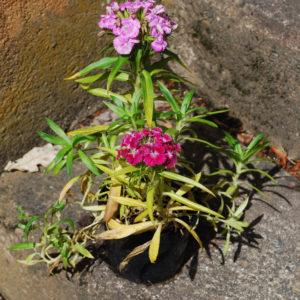 Dianthus barbatus 'Nana'-0