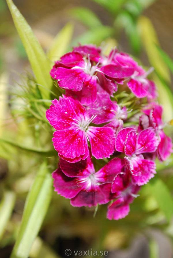 Dianthus barbatus 'Nana'-1437
