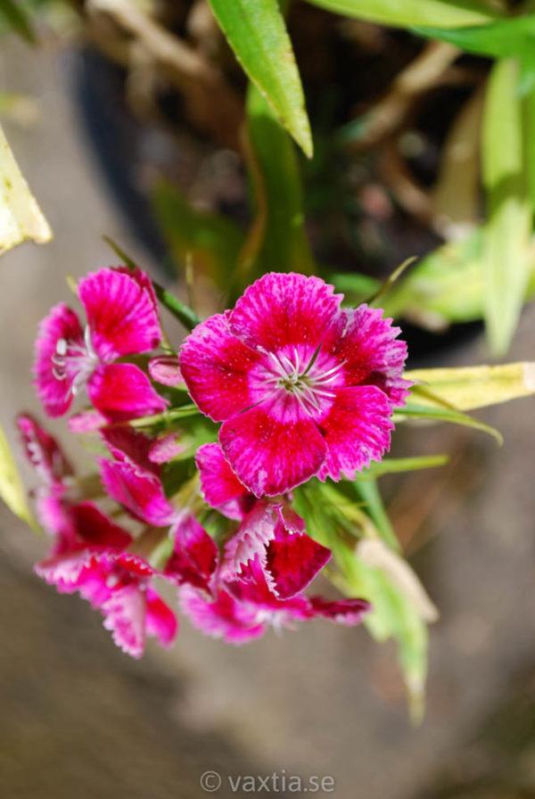 Dianthus barbatus 'Nana'-1436