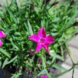 Dianthus 'Kahori'-0