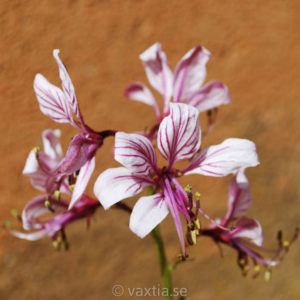 Dictamnus albus-0