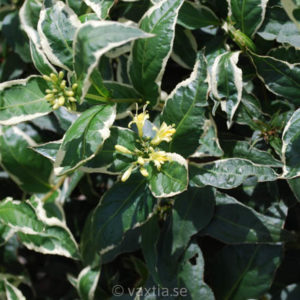 Diervilla sessiliflora 'Cool Splash'-0