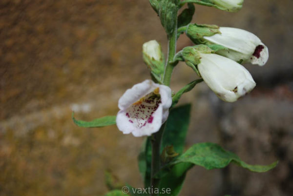 Digitalis purpurea 'Pam's Choice'-0