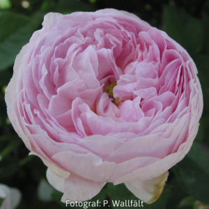'Duchesse de Montebello' (R. gallica)-0
