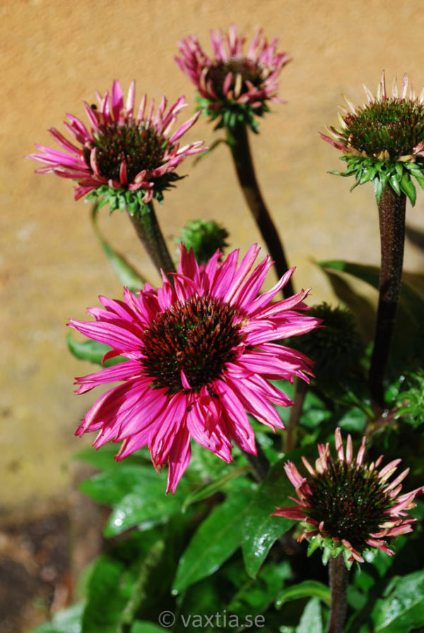 Echinacea purpurea 'Fatal Attraction'-0