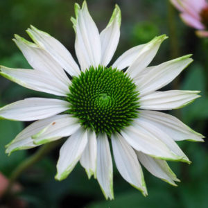 Echinacea purpurea 'Fragrant Angel'-0