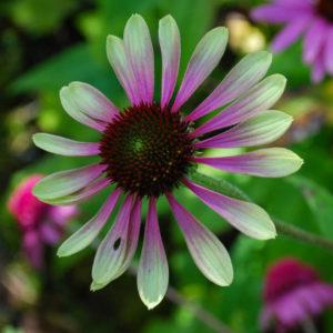 Echinacea 'Green Envy' -0