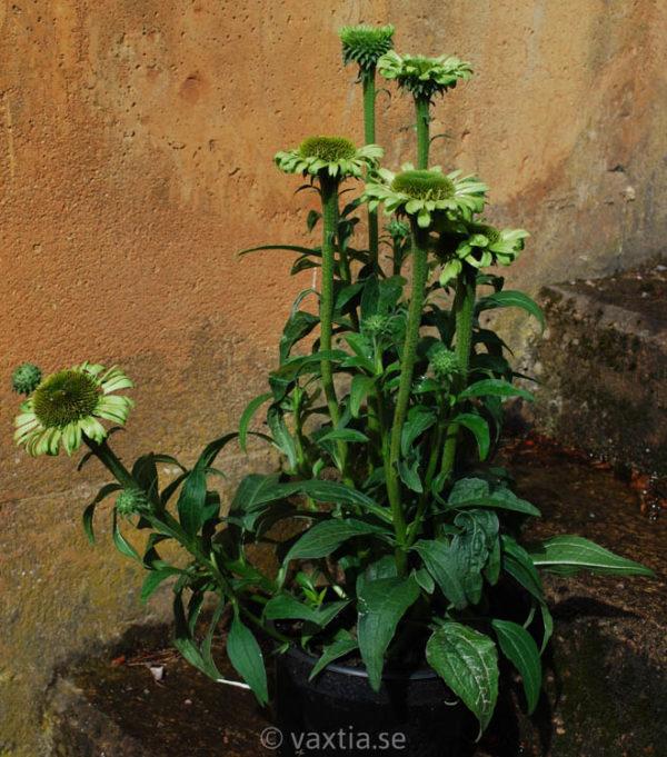 Echinacea 'Green Jewel'-1860