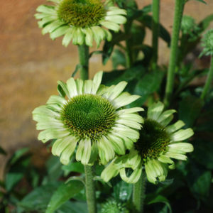 Echinacea 'Green Jewel'-0