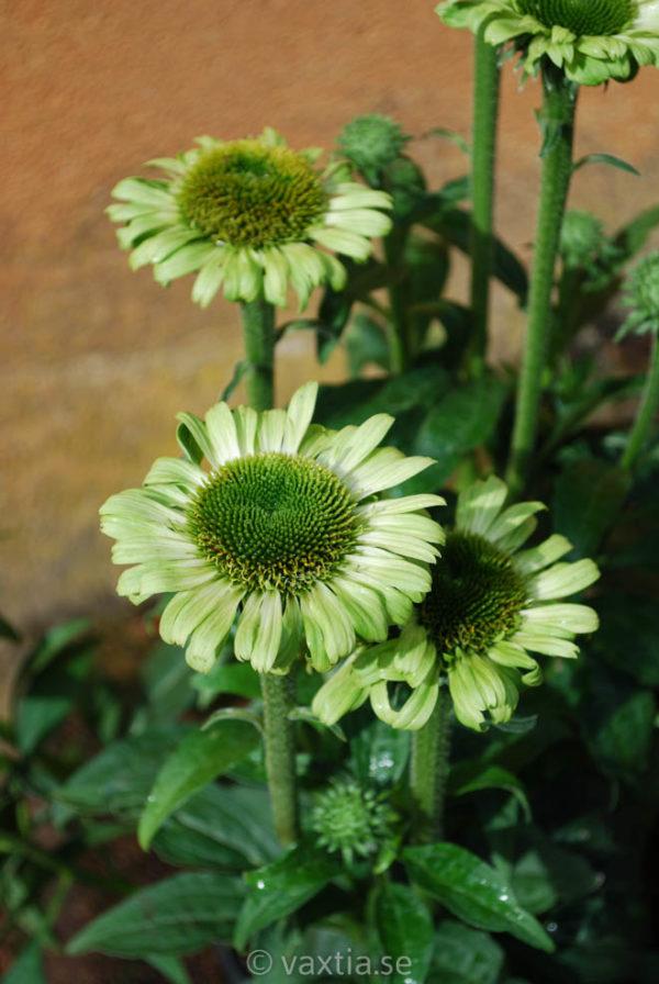Echinacea 'Green Jewel'-0