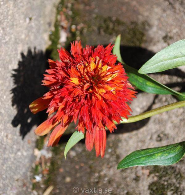 Echinacea 'Hot Papaya'-1654