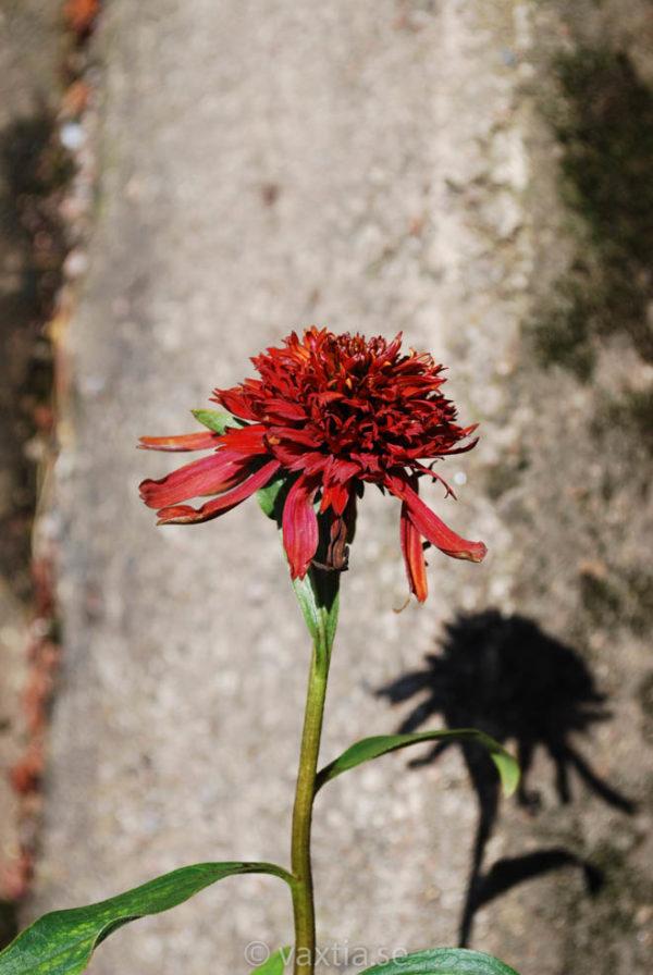 Echinacea 'Hot Papaya'-0
