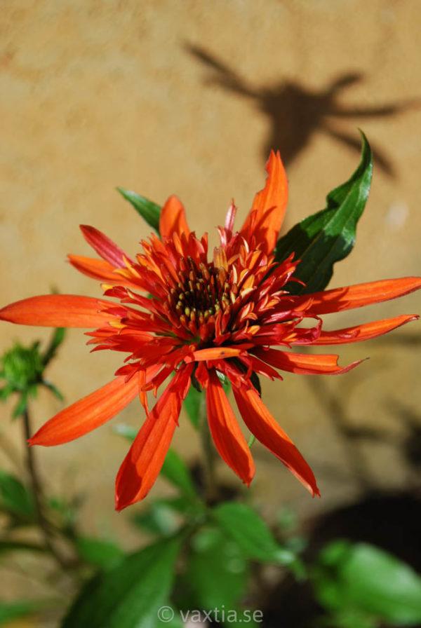 Echinacea 'Irresistible ' -0