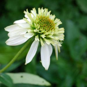 Echinacea 'Milkshake'-0