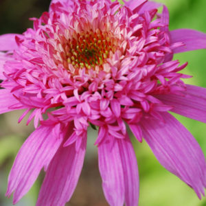 Echinacea purpurea 'Pink Double Delight' -0
