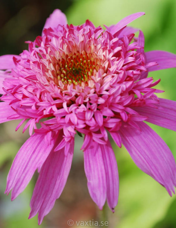 Echinacea purpurea 'Pink Double Delight' -0