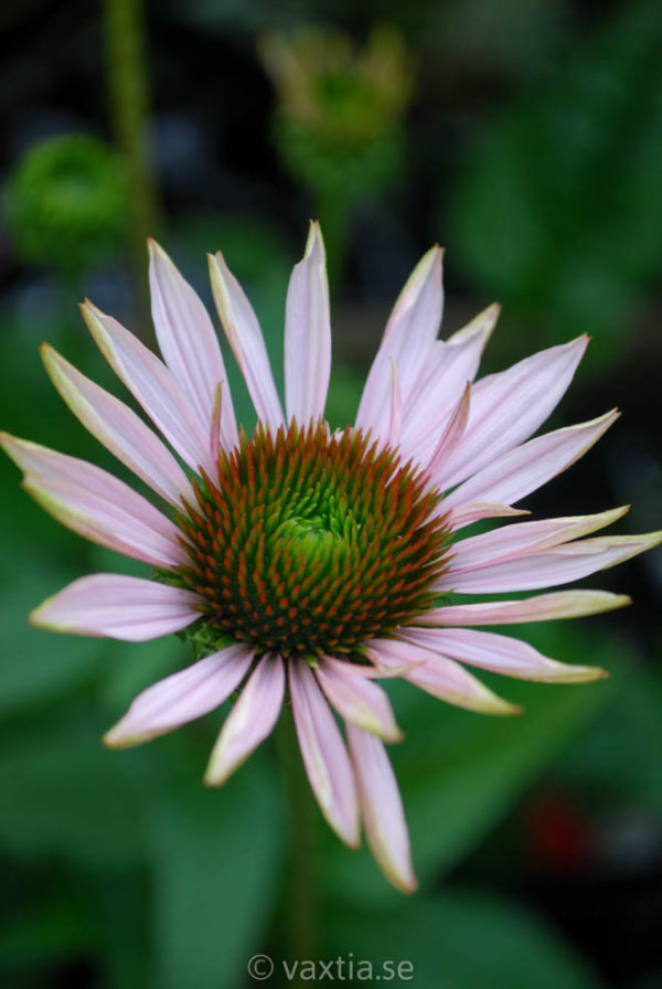 Echinacea purpurea 'Hope'-0