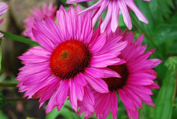 Echinacea purpurea 'Ruby Glow'-0