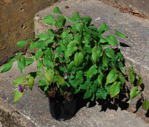 Epimedium grandiflorum 'Lilafee'-1158