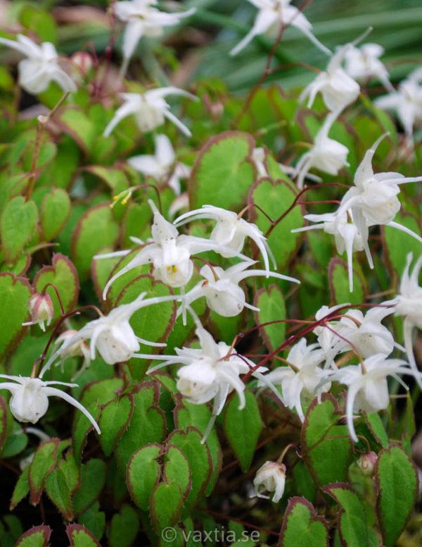 Epimedium youngianum 'Niveum'-0