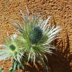 Eryngium alpinum 'Blue Star'-0