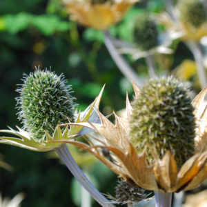 Eryngium giganteum-0