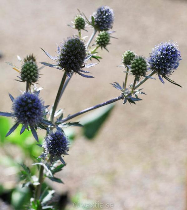 Eryngium planum 'Blaukappe'-521
