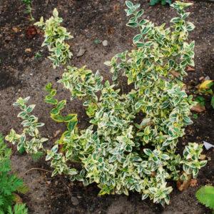 Euonymus fortunei 'Emerald Gaiety'-0