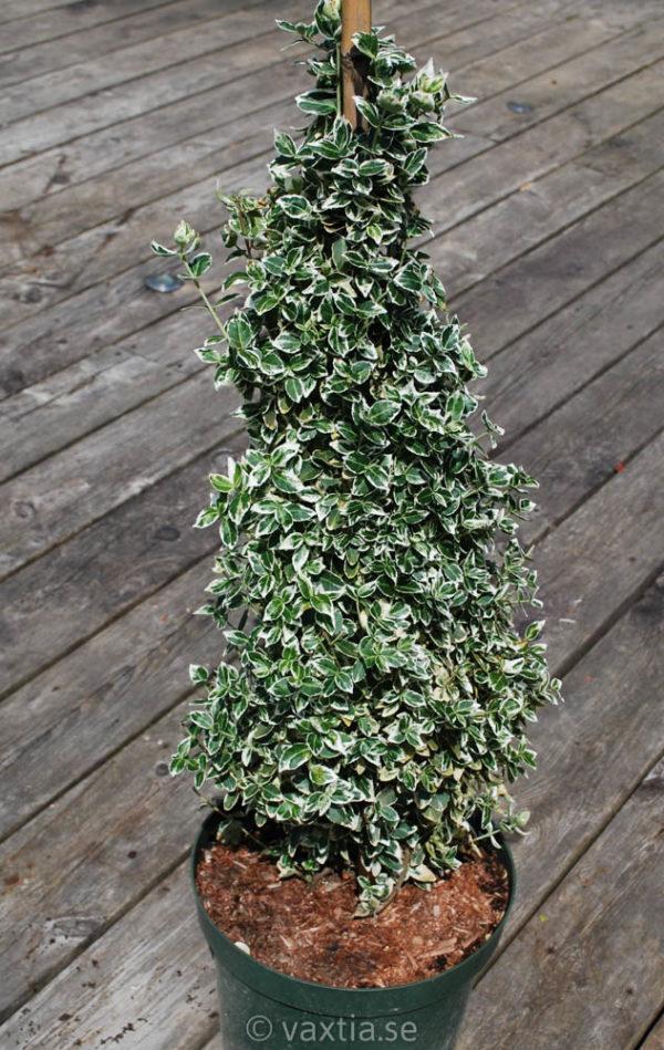 Euonymus fortunei 'Emerald Gaiety'-840