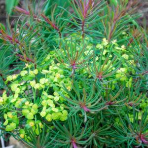 Euphorbia cyparissias 'Fens Ruby' (syn 'Clarice Howard')-0