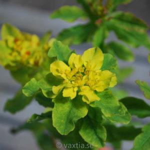 Euphorbia polychroma-0