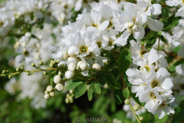 Exochorda macrantha 'The Bride'-1321