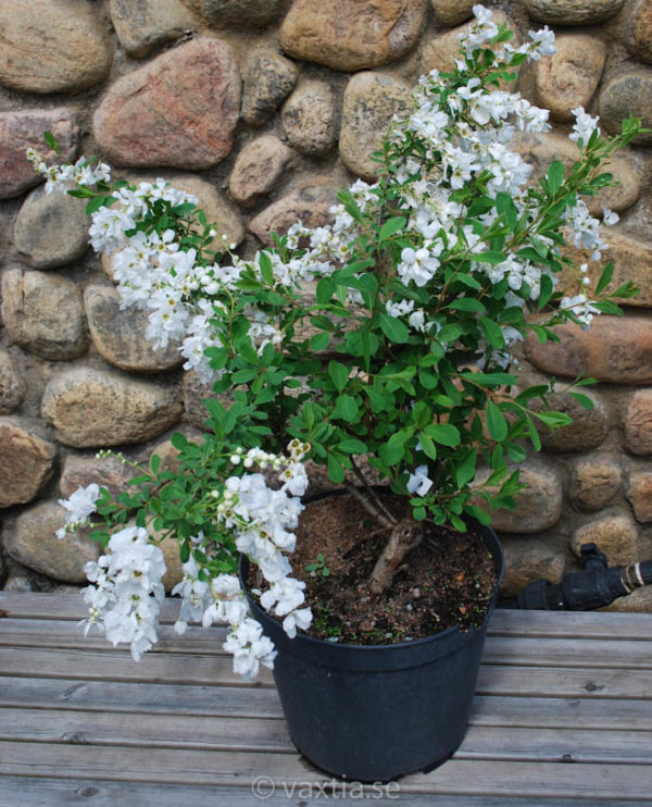 Exochorda macrantha 'The Bride'-1323