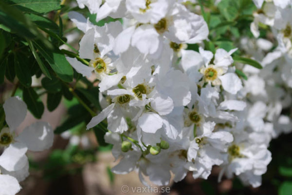 Exochorda macrantha 'The Bride'-0