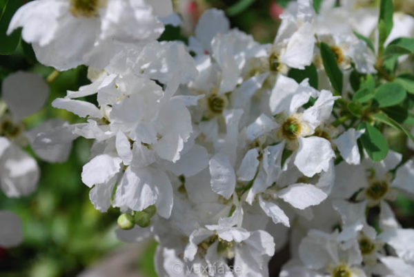 Exochorda macrantha 'The Bride'-1322