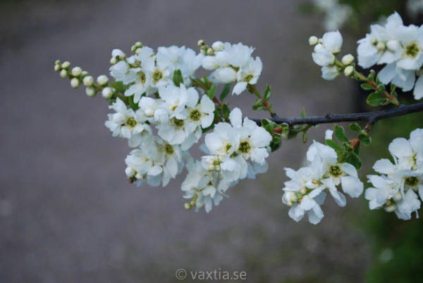 Exochorda macrantha 'The Bride'-1319