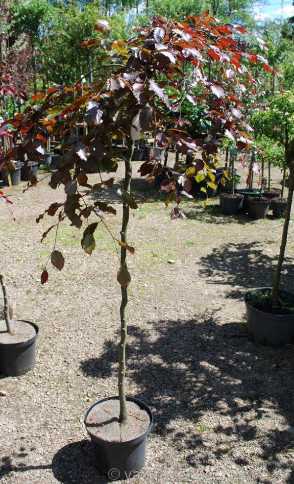 Fagus sylvatica 'Purpurea Pendula'-0