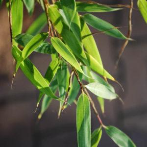 Fargesia murielae 'Dino'-0