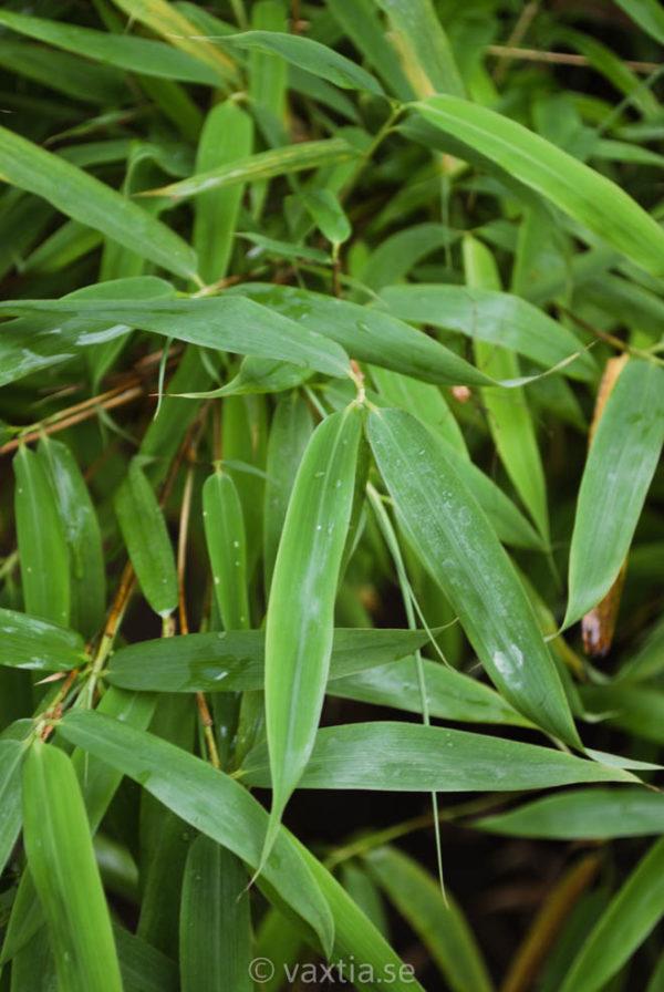 Fargesia murielae 'Panda'-1990