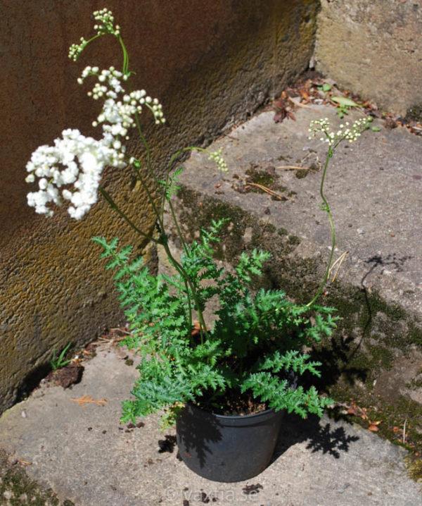 Filipendula vulgaris 'Plena'-1597