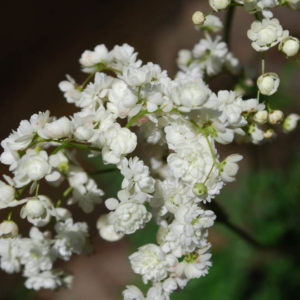 Filipendula vulgaris 'Plena'-0