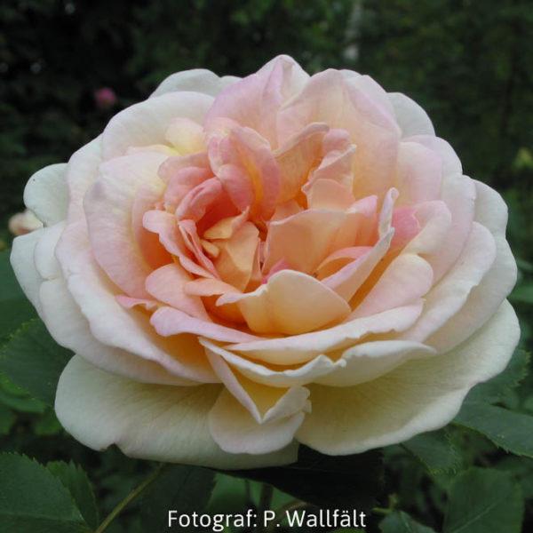 'Frühlingsduft' (R. spinosissima)-0